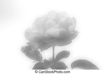 rose, portrait
