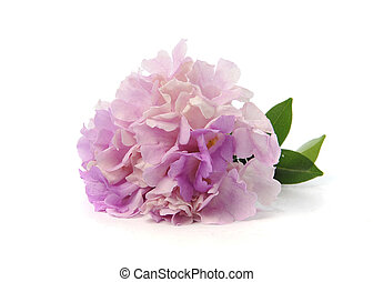 rose, pourpre, isolé, fond, fleurs blanches