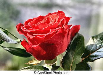 rose, prächtig