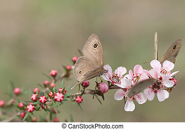 rose, printemps, leptospernum, défraîchi, papillons, anneau, fleurs, australien