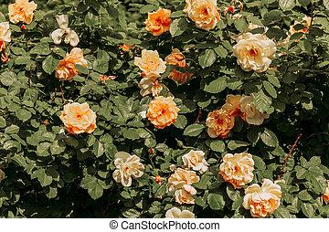 rose, printemps, parc, temps, orange, pendant, fleurs