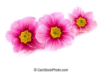 rose, printemps, sur, fleurs, blanc