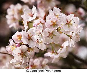 rose, printemps, washington, fleurs, cerise, fleurs