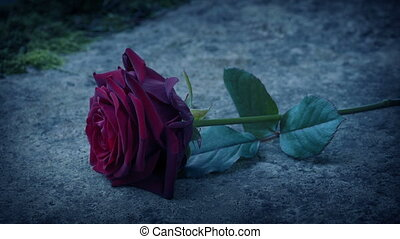 Rose Put On Grave In The Evening - Red rose in put on grave ...
