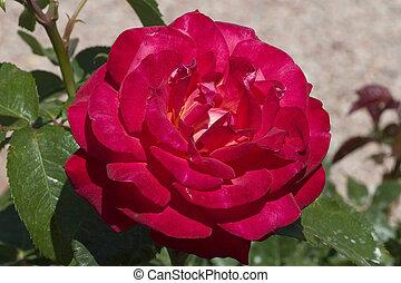 Rose Red #2