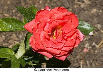 Rose Red #3