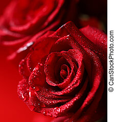rose red flower with dew drops, macro shot