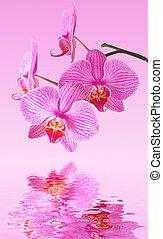 rose, reflet, orchidée