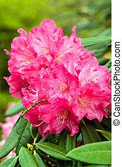 rose, rhododendron, fleur, dans, fleur pleine