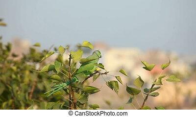 Rose-ringed Parakeet - Green rose-ringed parakeet sitting on...