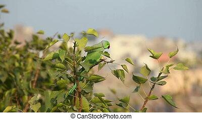 Rose-ringed Parakeet. - Green rose-ringed parakeet sitting...