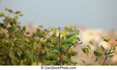 Rose-ringed Parakeet - Green rose-ringed parakeet sitting on...