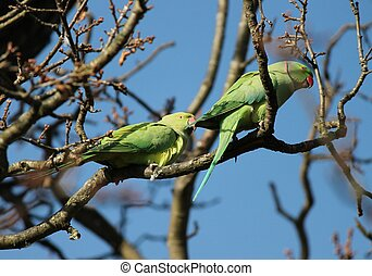 The rose-ringed parakeet (Psittacula krameri), known as the ring-necked parakeet, is a gregarious Afro-Asian parakeet species that has an extremely large range. They have a distinctive green colour.