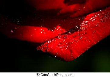 rose, romantique, fond, rouges