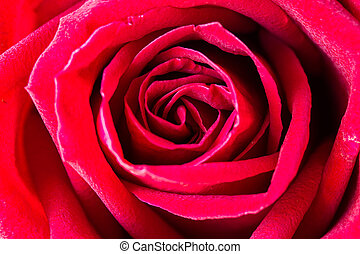 rose., rood