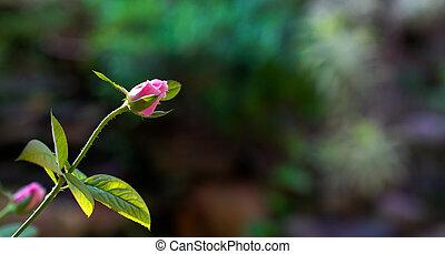 rose rose, arrière-plan vert