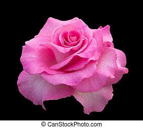 rose,  rose,  backgro, noir, isolé