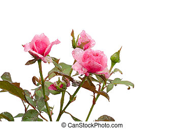 rose rose, blanc, isolé, fond
