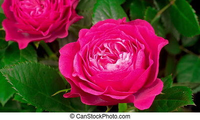 rose rose, défaillance, ouverture, temps, fleur