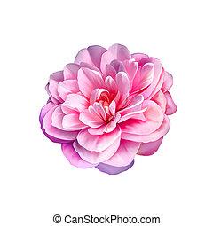 rose rose, fleur, camélia