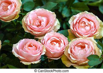 rose rose, fleur