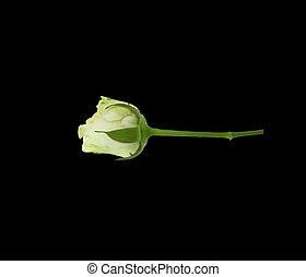 rose rose, fleurs, isolé