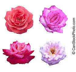 rose rose, fleurs
