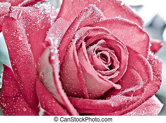 rose rose, gouttes rosée