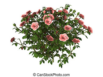 rose,  rose,  Illustration, buisson, blanc,  3D