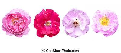 rose rose, isolé, arrière-plan., fleurs blanches