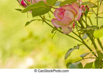rose rose, jardin fleur