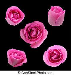 rose,  rose, noir, isolé, fond