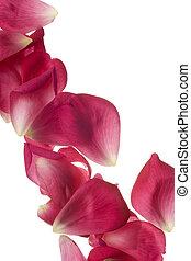 rose rose, pétales, isolé, blanc