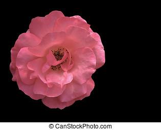 rose rose, sur, noir