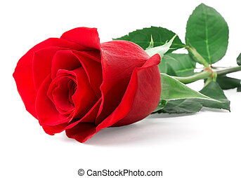 rose, rotes , knospe