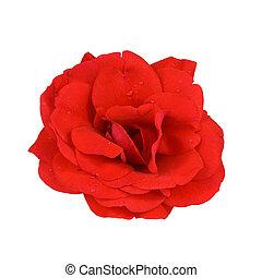 rose rouge, à, gouttelettes