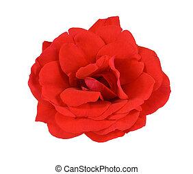 rose rouge, blanc
