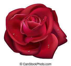 rose rouge, et, baisse eau
