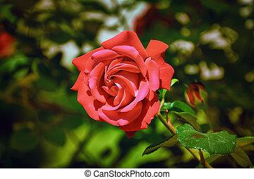 rose rouge, fleur