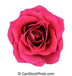 rose rouge, fleur, isolé, blanc, fond