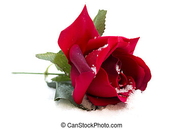 rose rouge, fond blanc