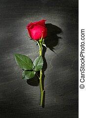 rose rouge, macro, sur, sombre, noir, bois
