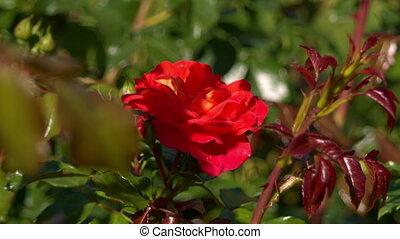 rose, rouges, vent