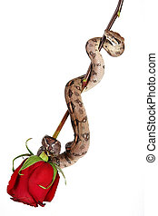 rose, schlange