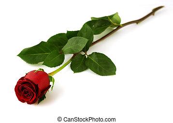 rose, singel, hvid baggrund, rød