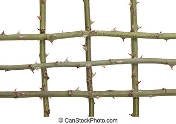 rose stem -  stem with  spikes from rose on white background