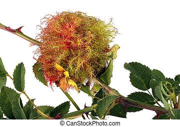 Rose stem wasp gall