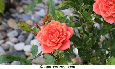 rose - blume