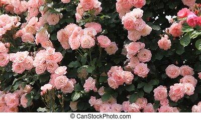 rose - I took many pink roses.