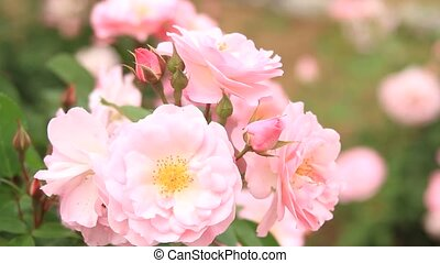 rose - I took pink roses which shook for wind.